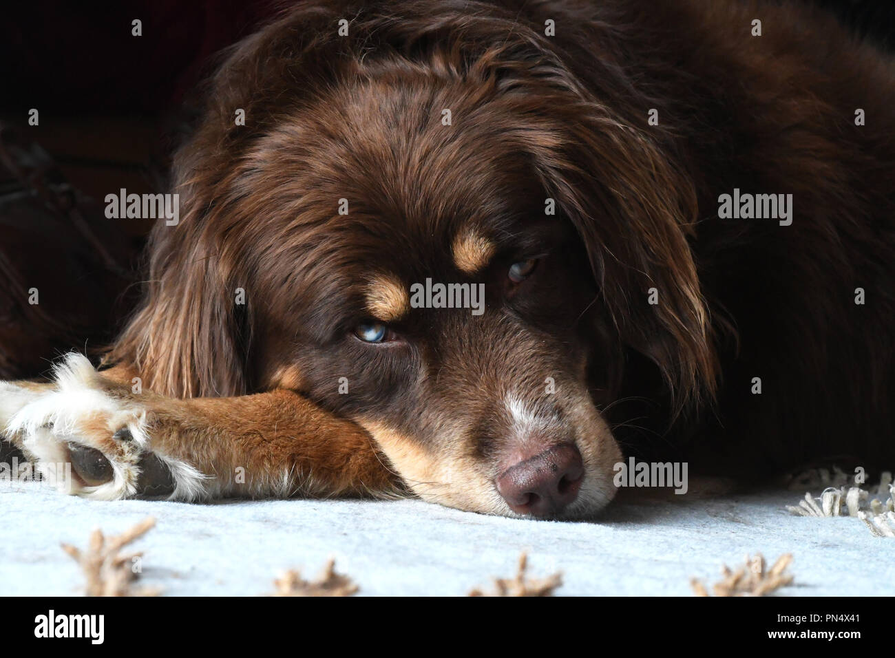 Husky/Border Collie mised breed dog resting on an area rug Stock Photo