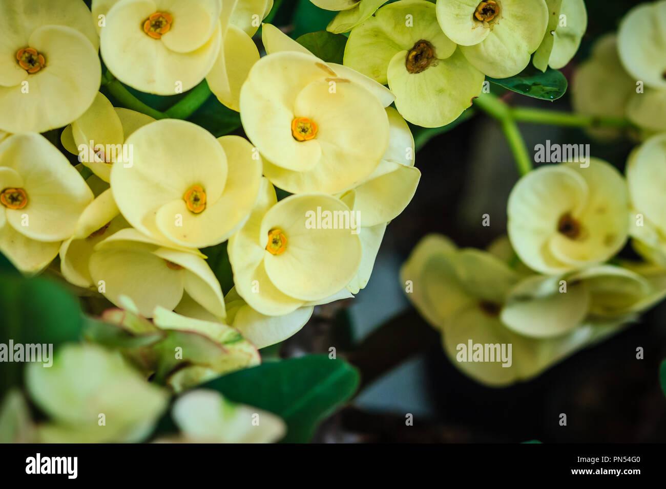 Beautiful Hybrid Euphorbia Milii Crown Of Thorns Christ Plant