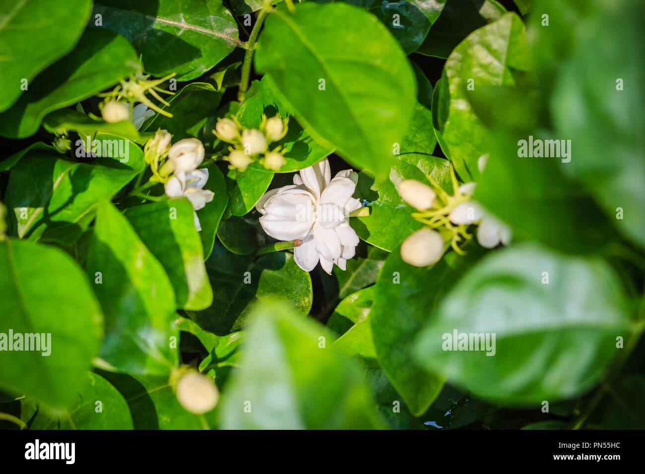 Cluster Of Budding Jasmine Flower In The Green Garden Background