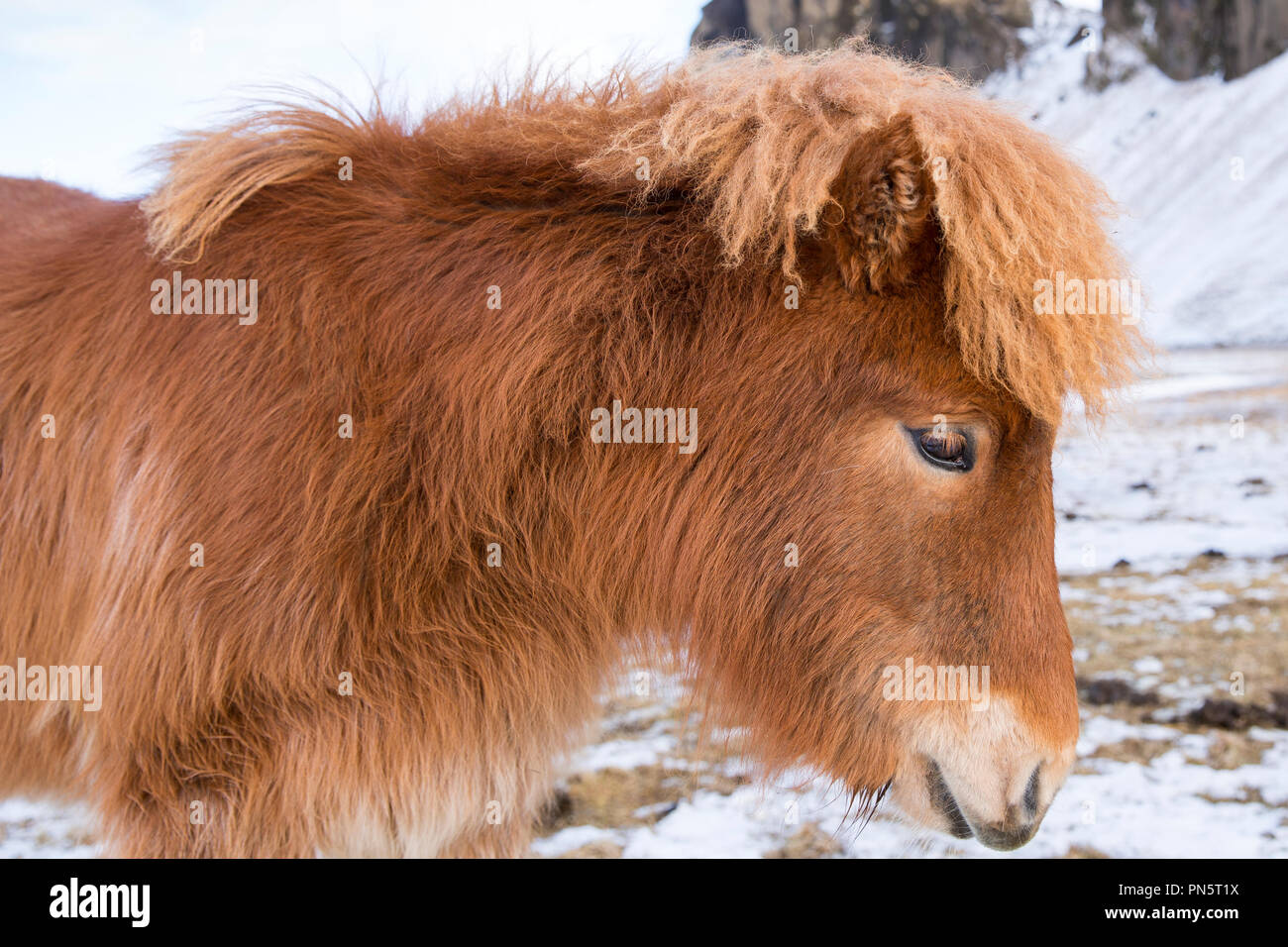 Close-up headshot portrait side view of cute shaggy-haired typical Icelandic pony in South Iceland - Stock Image