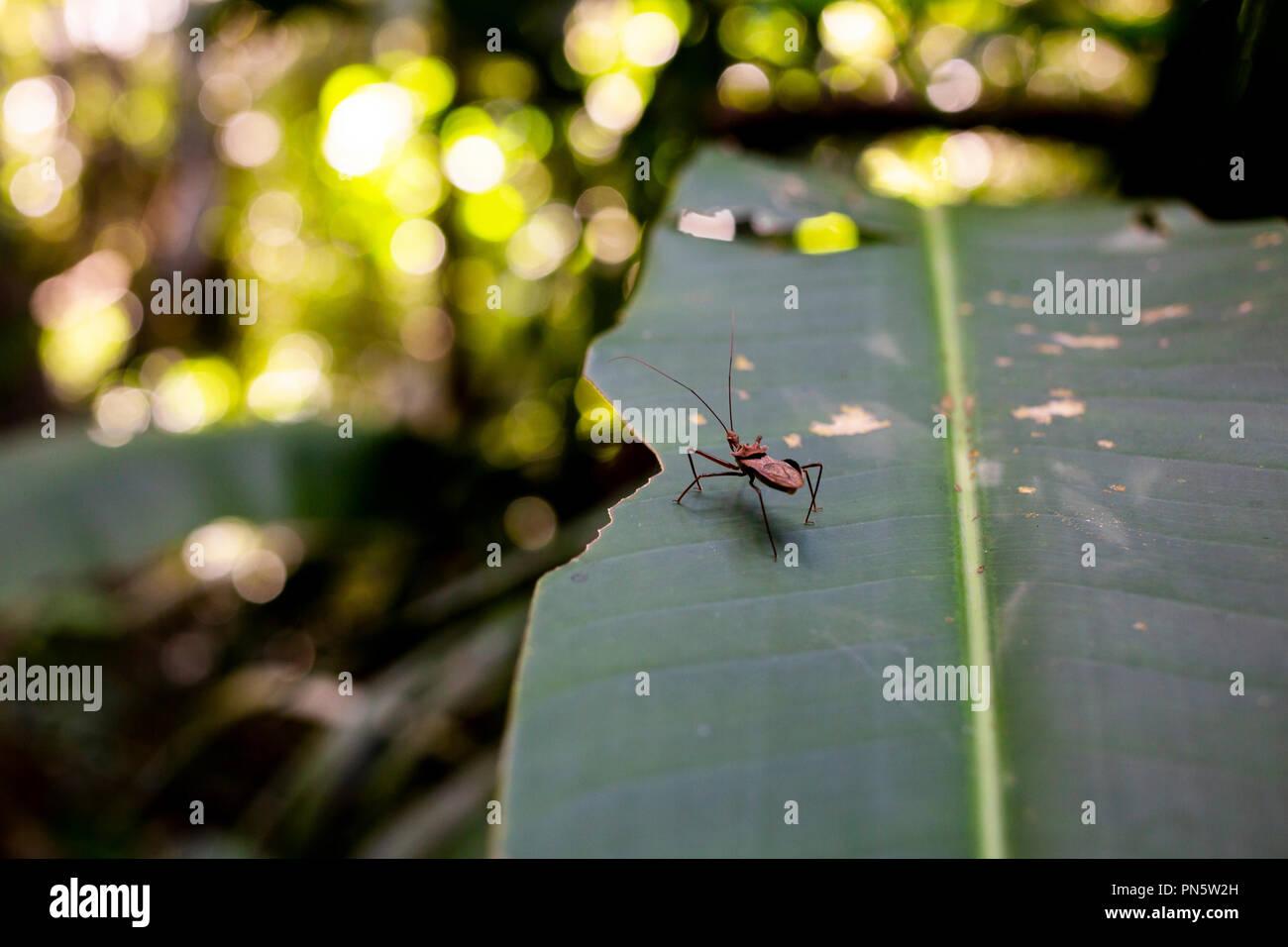 Insekt auf Pflanze , Blatt im Regenwald bei Puerto Maldonado, Rio Madre de Dios, Peru - Stock Image