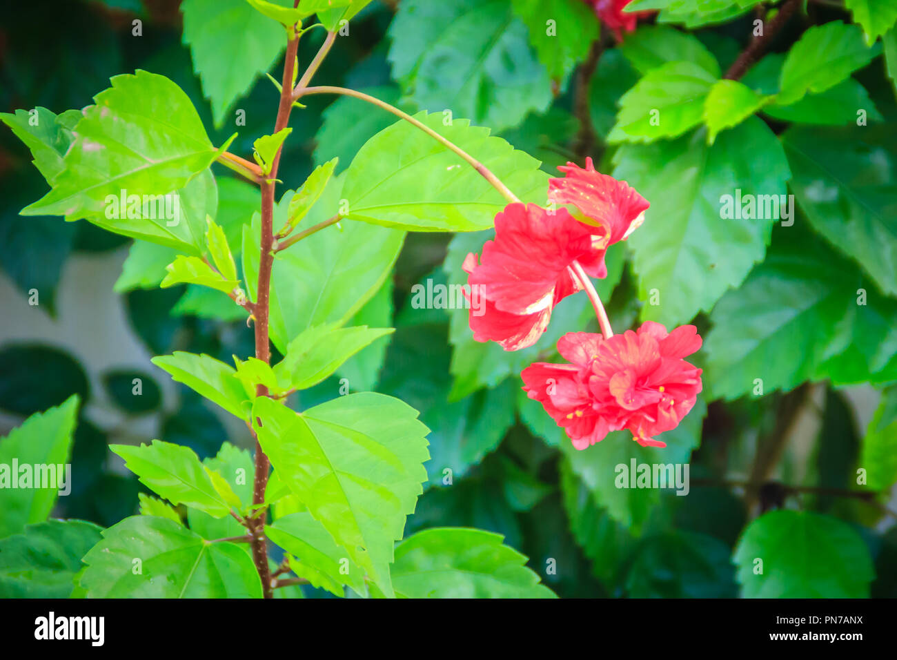 Red double petal vermillion flower of hybrid Hibiscus rosa-sinensis, also known as Chinese hibiscus, China rose, Hawaiian hibiscus, and shoeblackplant Stock Photo