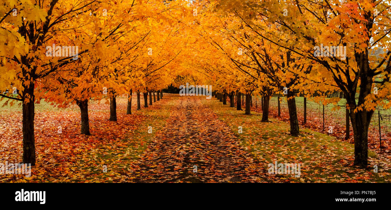 maple trees along driveway with autumn leaves on the ground