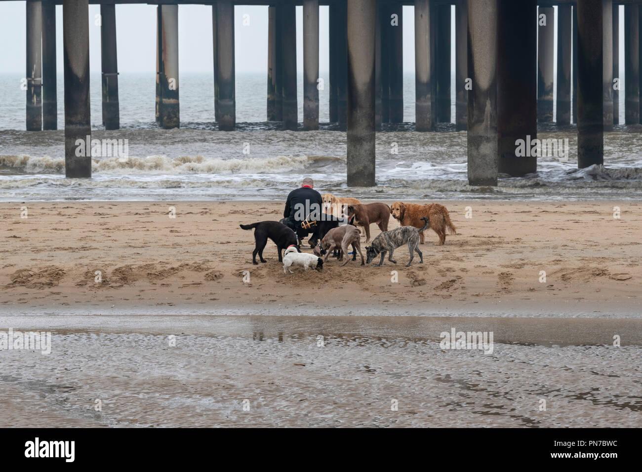 Scheveningen, The Hague, Netherlands, April 04 2018 - Professional Dog, canine, trainer - t Scheveningen  Professioneller Hundewanderer und Trainer - Stock Image