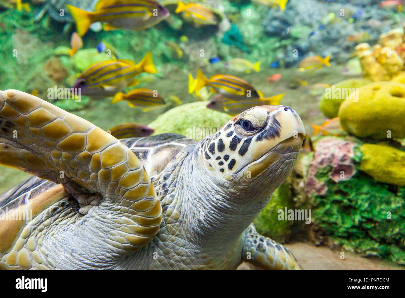 Closeup of sea turtle with fish underwater - Stock Image