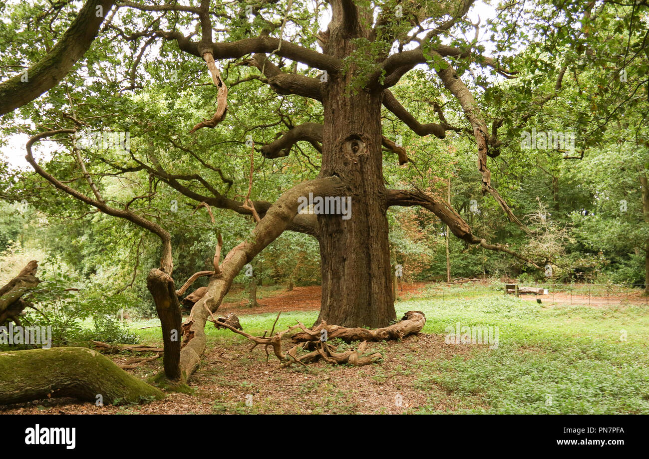 The largest Great Oak or maiden Oak or clearded stemmed Oak in the country. - Stock Image