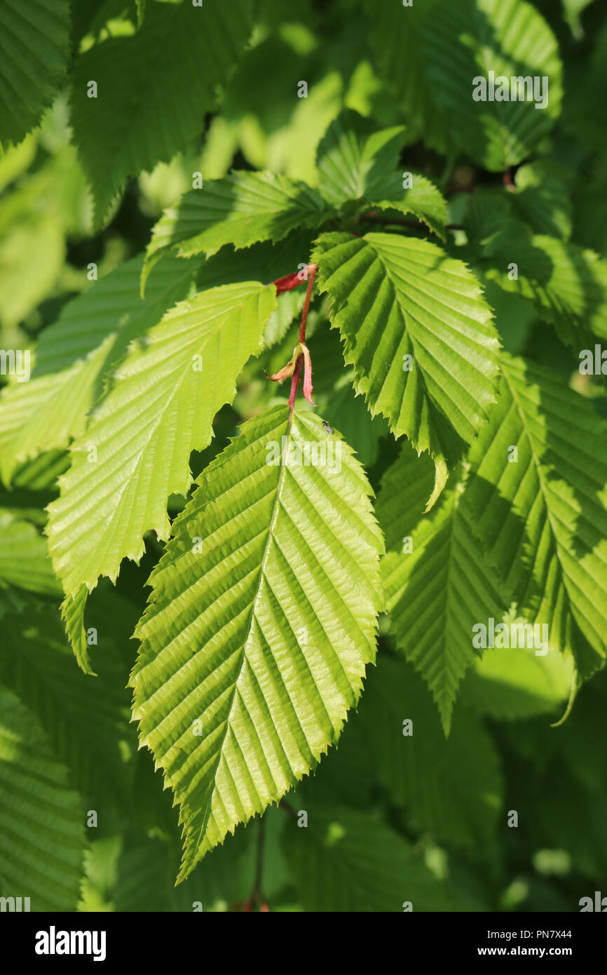 Fresh hornbeam (Carpinus betulus) tree leaves shining in the sunlight with a blurred background of leaves. - Stock Image