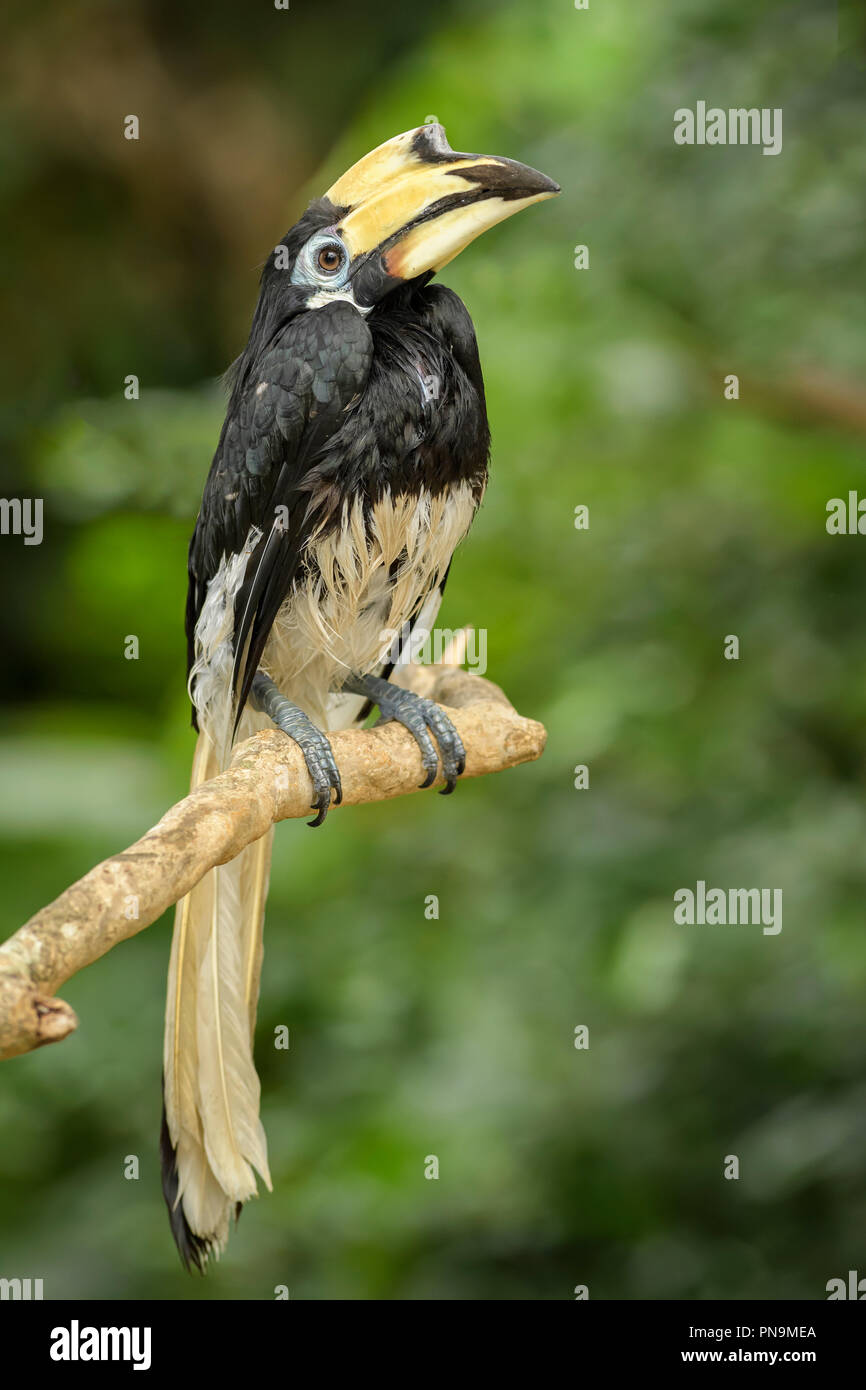 Oriental Pied-hornbill - Anthracoceros albirostris, small beautiful hornbill from Southeast Asian forests and woodlands. - Stock Image