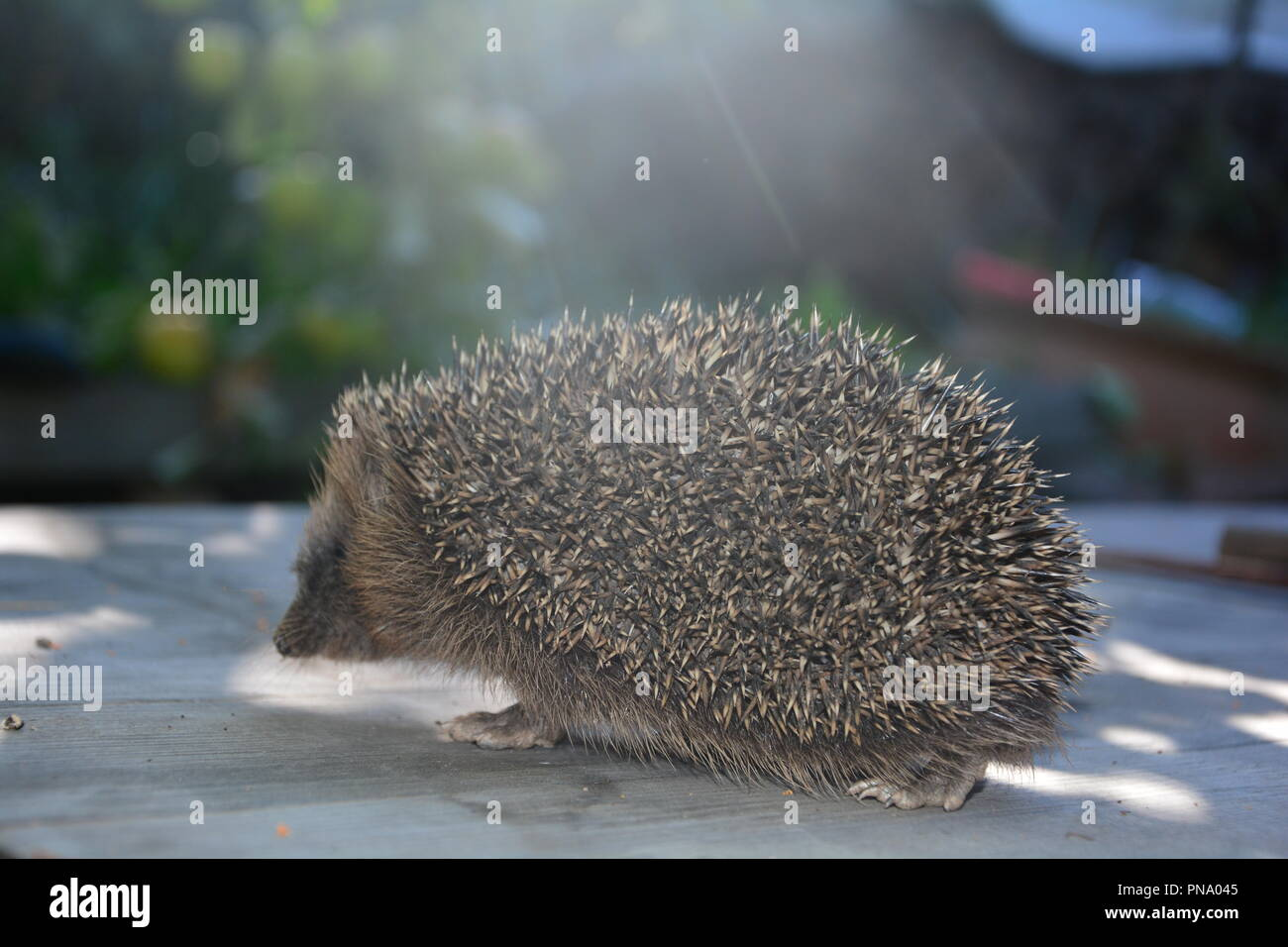 Hedgehog on wood in front of nature, run in the sunlight - Stock Image