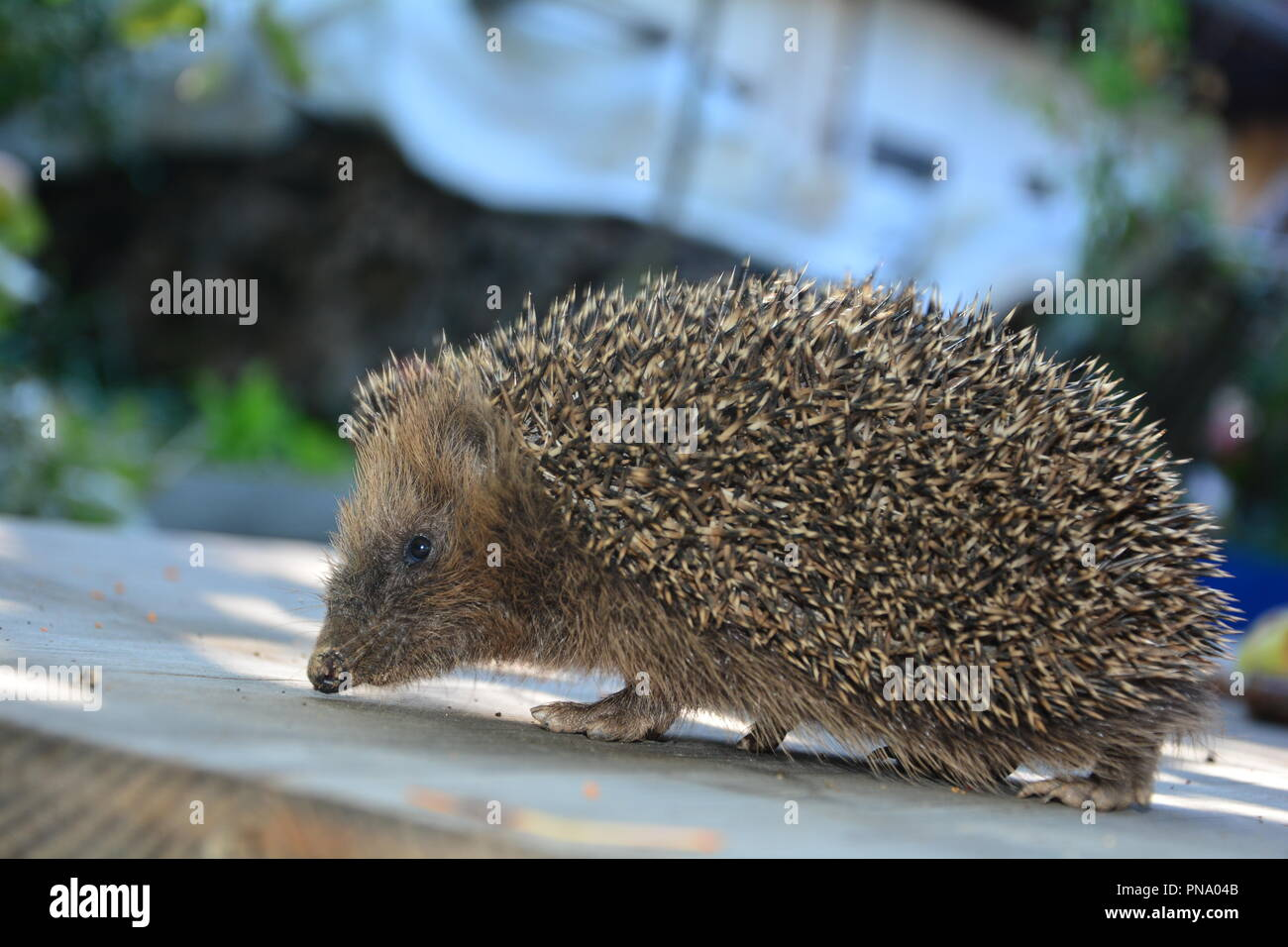 Hedgehog from the side on wood in sunlight - Stock Image