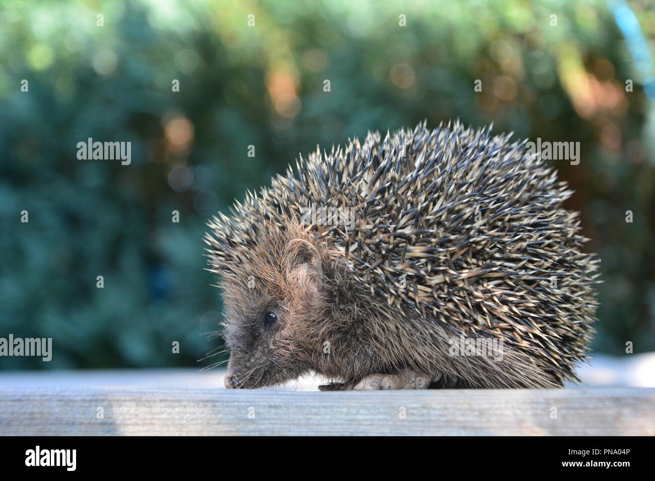 Hedgehog from the side on wood in front of green nature - Stock Image