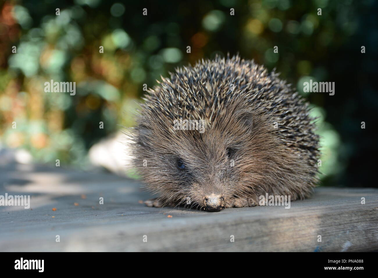 Hedgehog lie  on wood in front of green nature - Stock Image