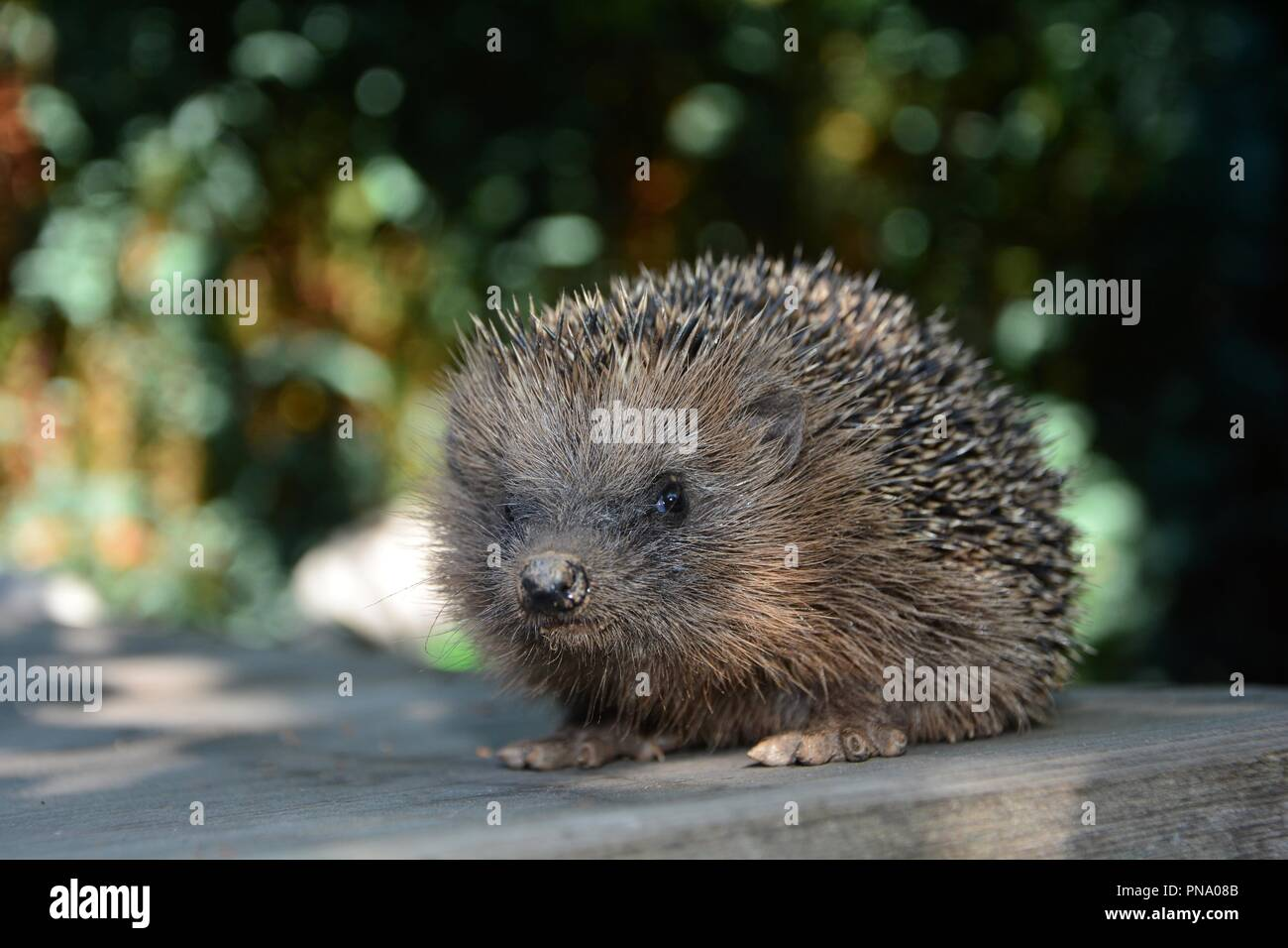 Hedgehog sits on wood in front of green nature - Stock Image