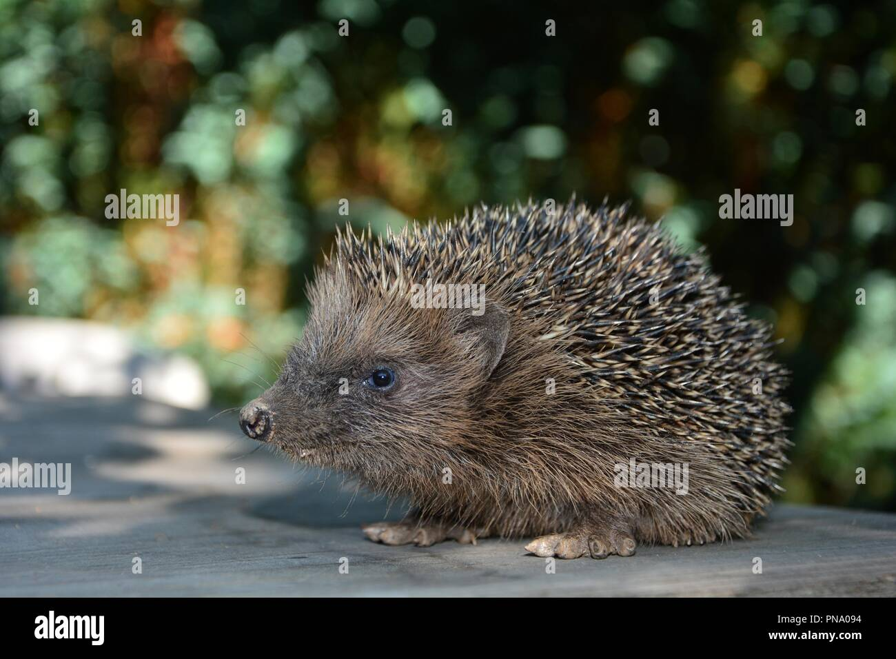 One cute Hedgehog  on wood in front of green nature - Stock Image