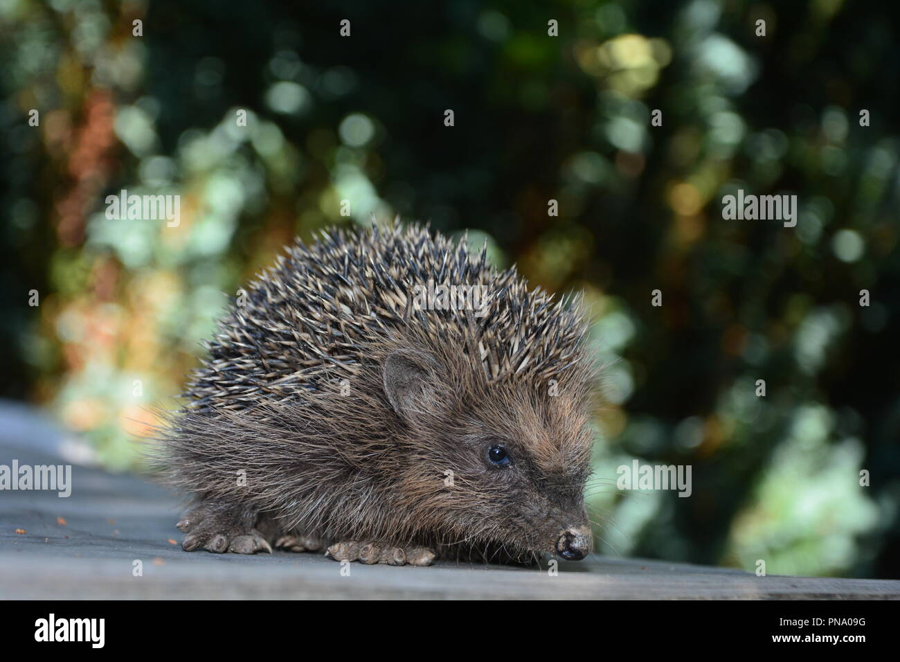 Hedgehog  on wood in front of green nature - Stock Image