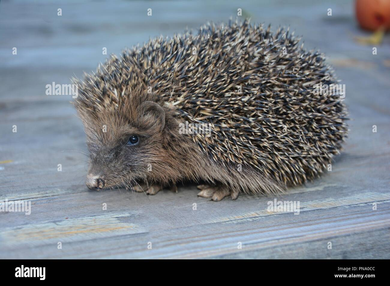 Hedgehog from the side on wood - Stock Image