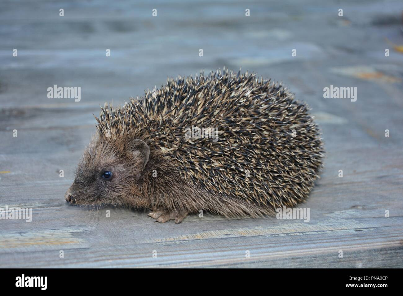 Hedgehog from the side on wood with copy space - Stock Image