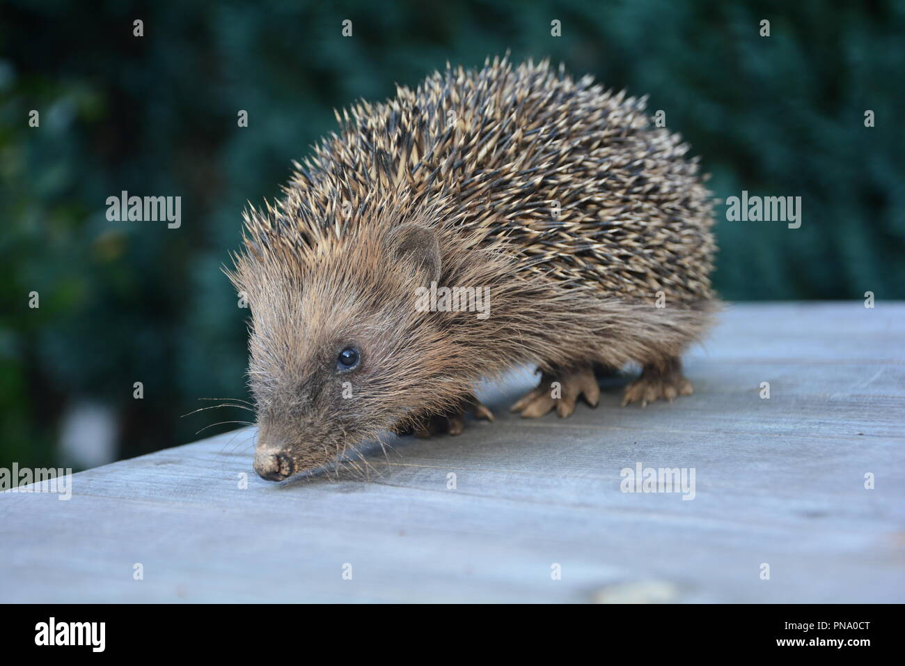 Hedgehog stands on wood in front of green nature - Stock Image