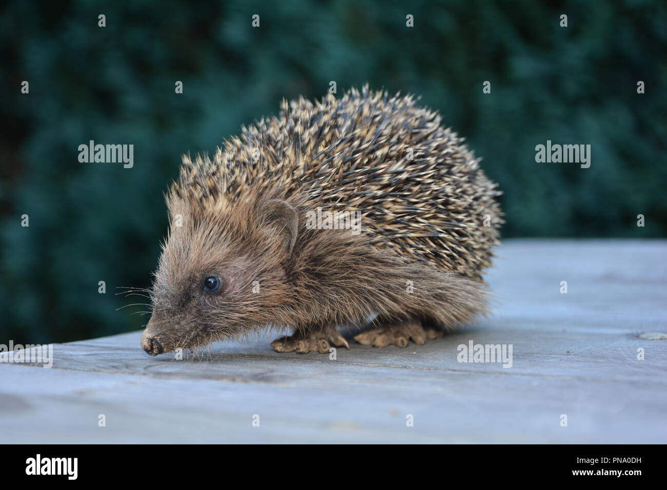Hedgehog from the side, sits  on wood in front of green nature - Stock Image