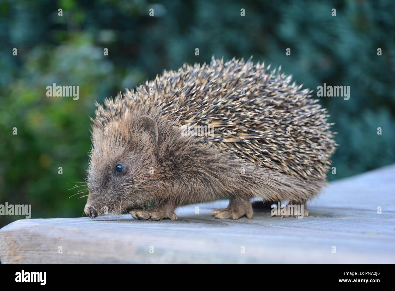 Cute hedgehog from the side on wood in front of green nature - Stock Image