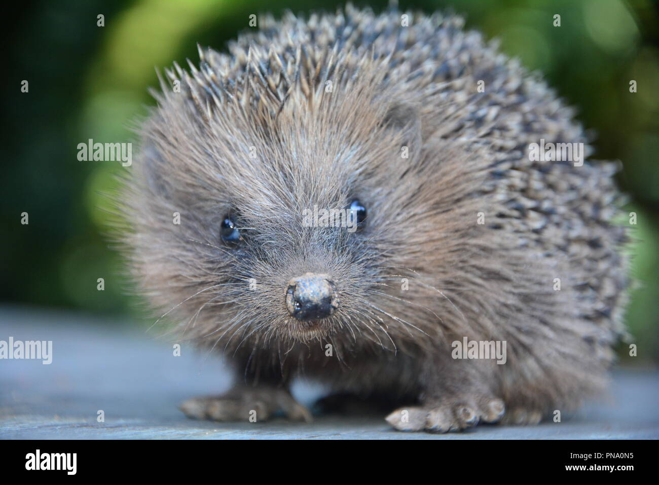 Close up from a hedgehog from the front  with  green nature - Stock Image