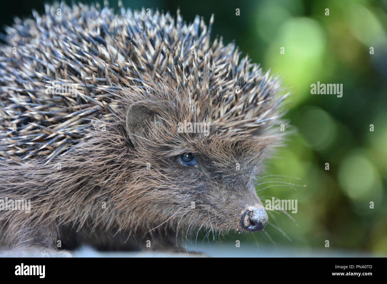 Close up from a hedgehog in front of green nature - Stock Image