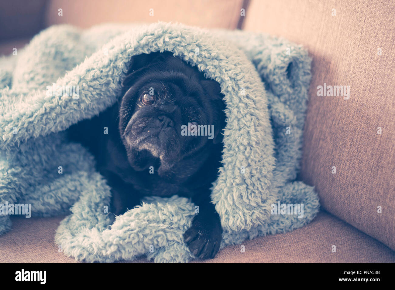 nice old pug under the sheet at home. sweet and nice to protect your home. beautiful colors blue and cyan. Rapper mood image. tenderness and sweetness - Stock Image