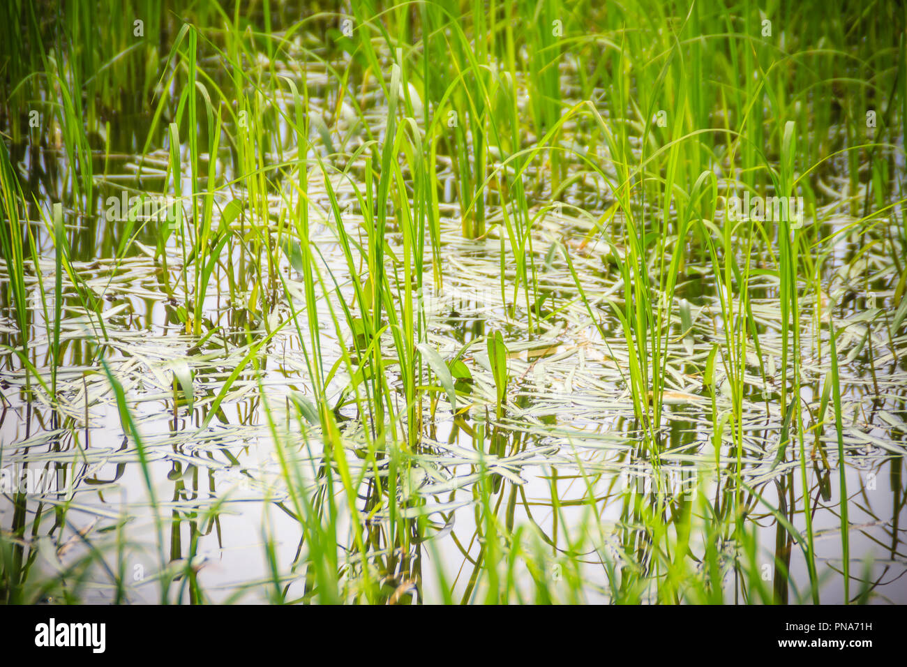 Monochoria vaginalis weed grass, a serious weed in rice fields. It is a species of flowering plant in the water hyacinth family and also known as hear Stock Photo