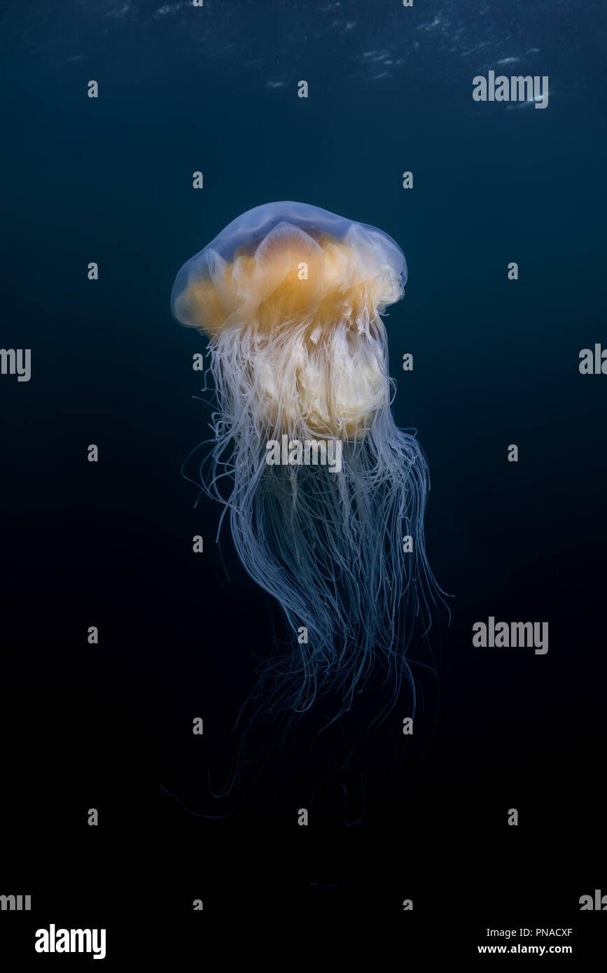 Lion's mane jellyfish (Cyanea capillata, Cyanea arctica) in the blue water - Stock Image