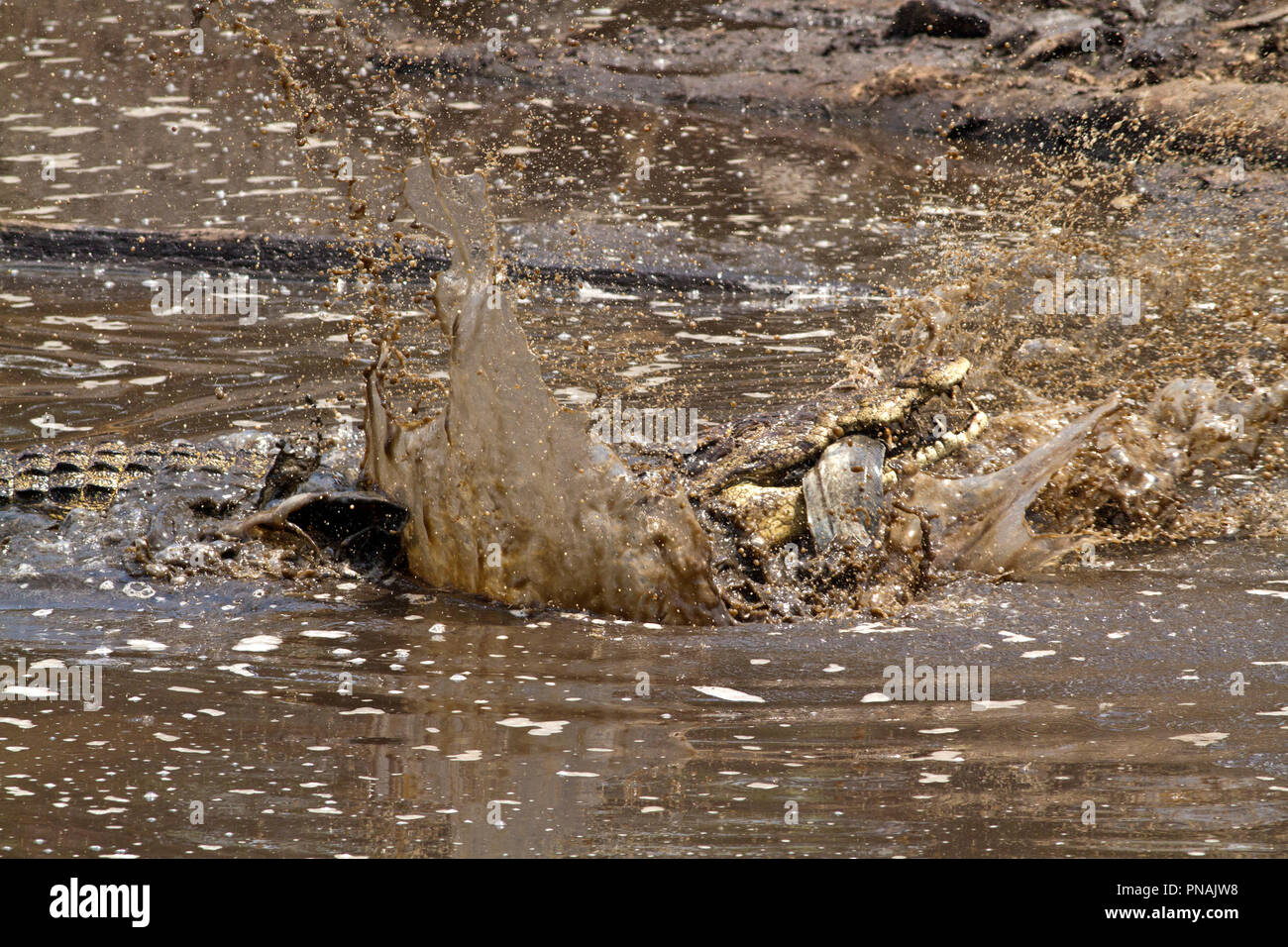 A large crocodile softens up a big catfish before swallowing, Crocodile jaws do not move sideways to chew to food has to be gulped down in a managable - Stock Image