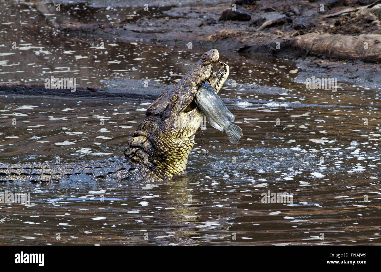 Even large crocodiles will feats on fish when the opportunity rises, especially as the pools shrink in the dry season and large catfish are trapped. - Stock Image
