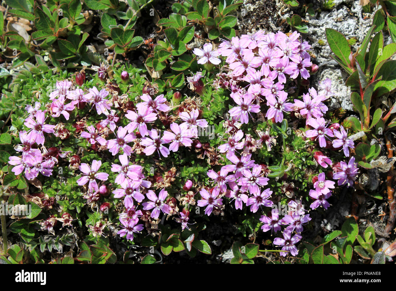 Moss Campion Silene acualis - Stock Image