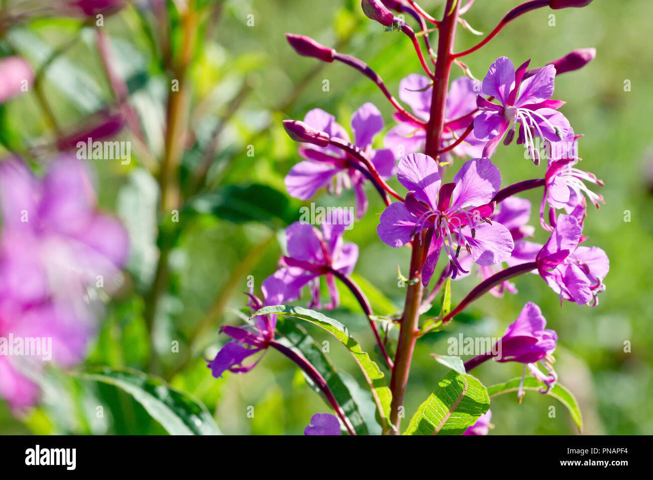 Rosebay Willowherb (epilobium angustifolium or chamerion angustifolium), close up of a group of backlit flowers and buds. Stock Photo