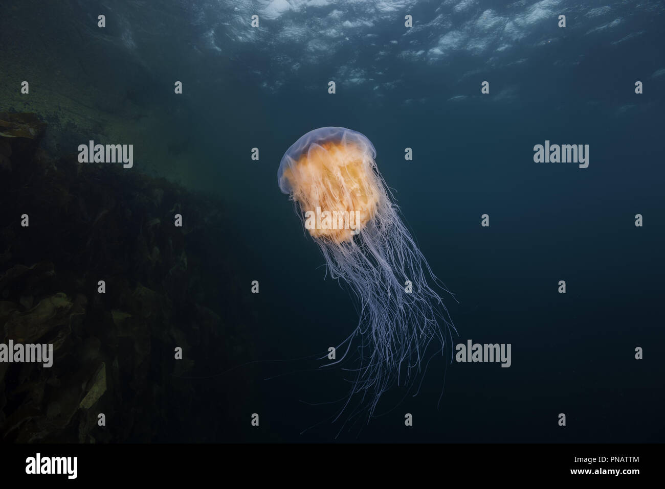 Lion's mane jellyfish (Cyanea capillata, Cyanea arctica) in the blue water near reef - Stock Image