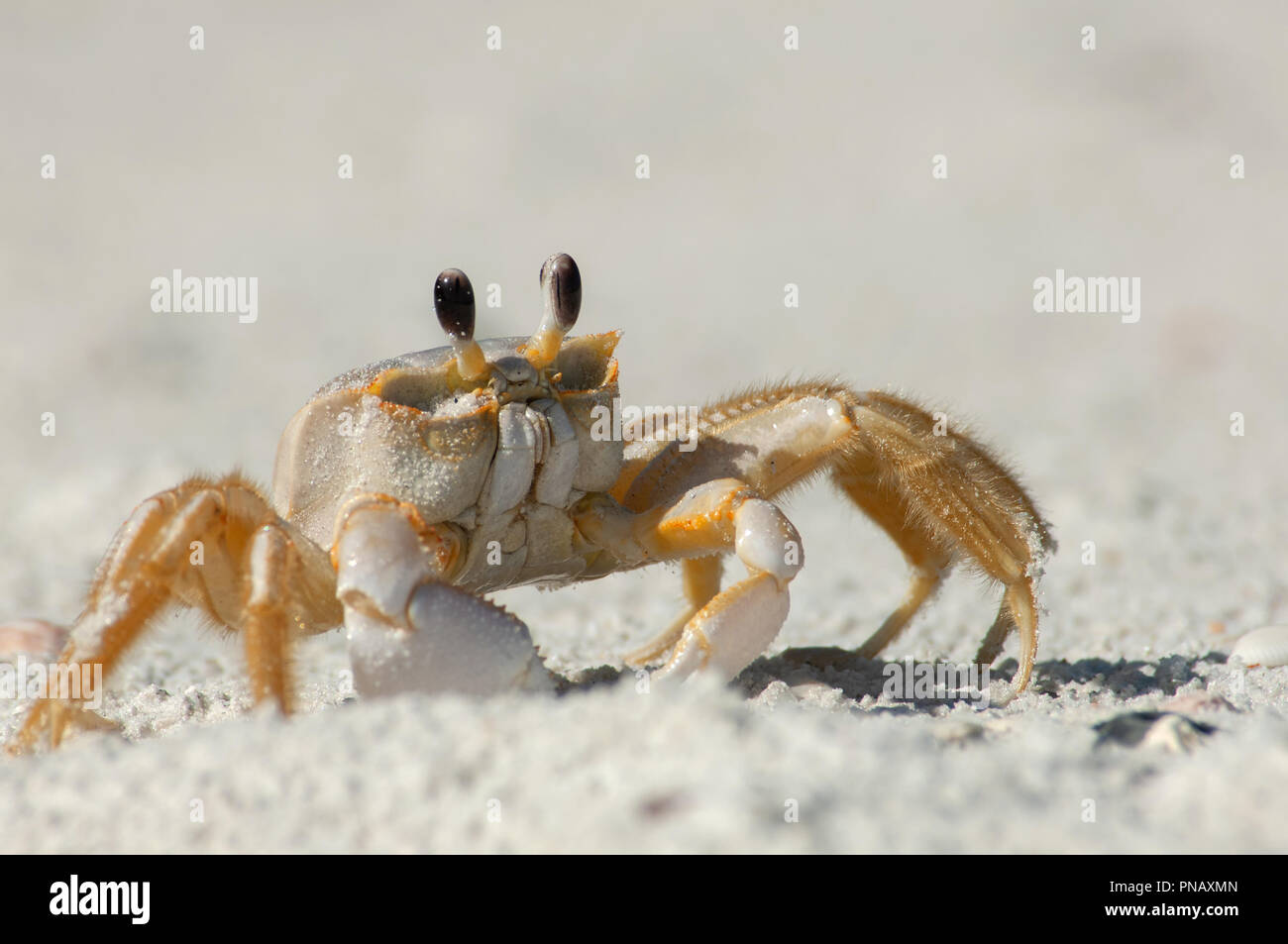 A semiterrestrial ghost crab (Ocypodinae arthropods) walks through the sand along Wiggins Pass, Florida. It is also sometimes known as a sand crab. - Stock Image
