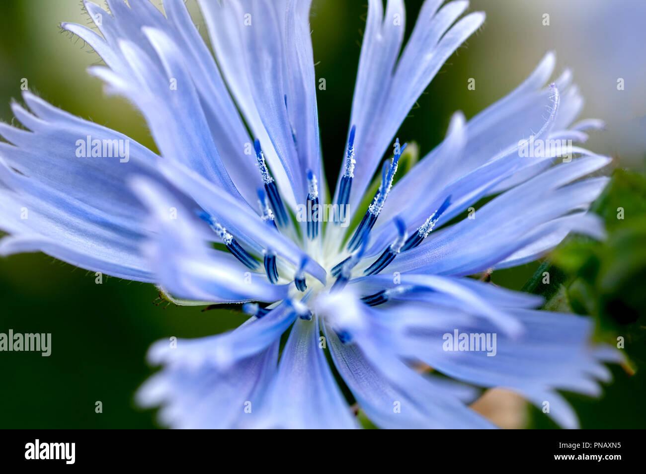 Blue Aster Flower Macro Stock Photos Blue Aster Flower Macro Stock