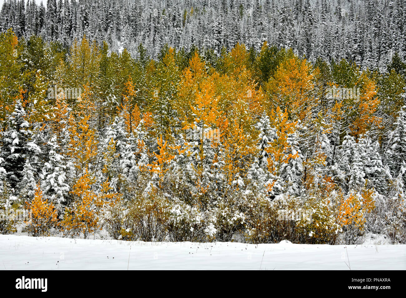 A nature landscape image of colorful vegetation with an early autumn snow in rural Alberta Canada. - Stock Image