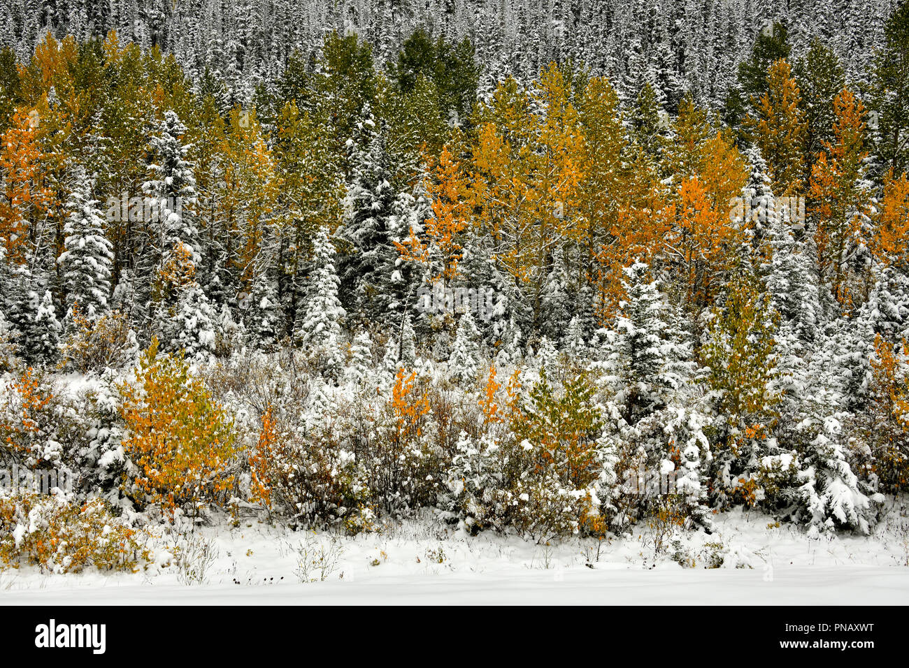 A nature landscape image of colorful vegetation with an early autumn snow fall in rural Alberta Canada. - Stock Image