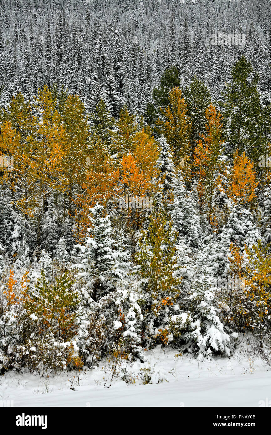 A vertical nature landscape image of colorful vegetation with an early autumn snow fall in rural Alberta Canada. - Stock Image