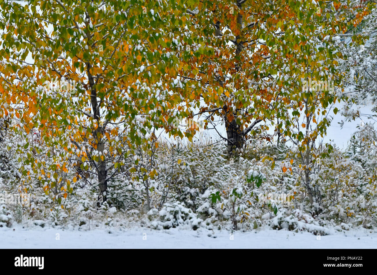 A horizontal nature image of the first September snow falling on colorful leaves of a deciduous tree in rural Alberta Canada. - Stock Image