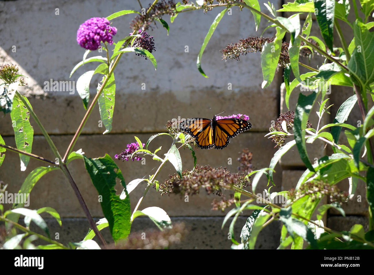 The Monarch is the most familiar North American butterfly, and is considered an iconic pollinator species. Its wings feature an easily recognizable bl - Stock Image