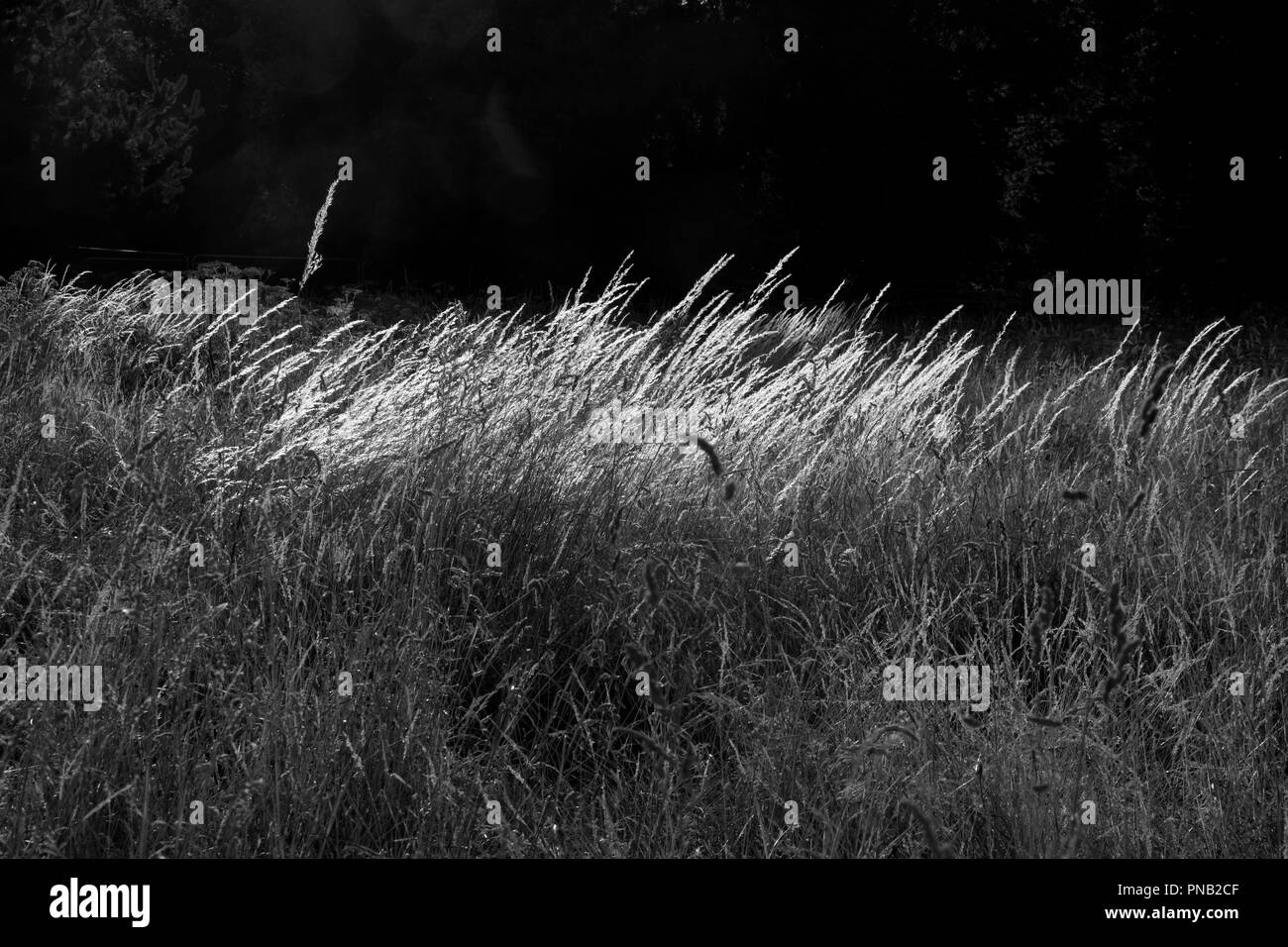 Long grass lit up by the late evening Summer sun on Putney Common, Putney, London, UK - Stock Image