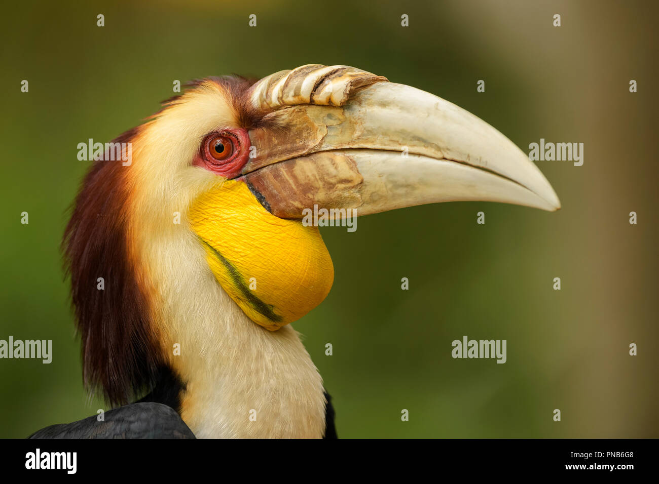 Wreathed Hornbill - Rhyticeros undulatus, beautiful colorful hornbill from Southeast Asian forests and woodlands. - Stock Image