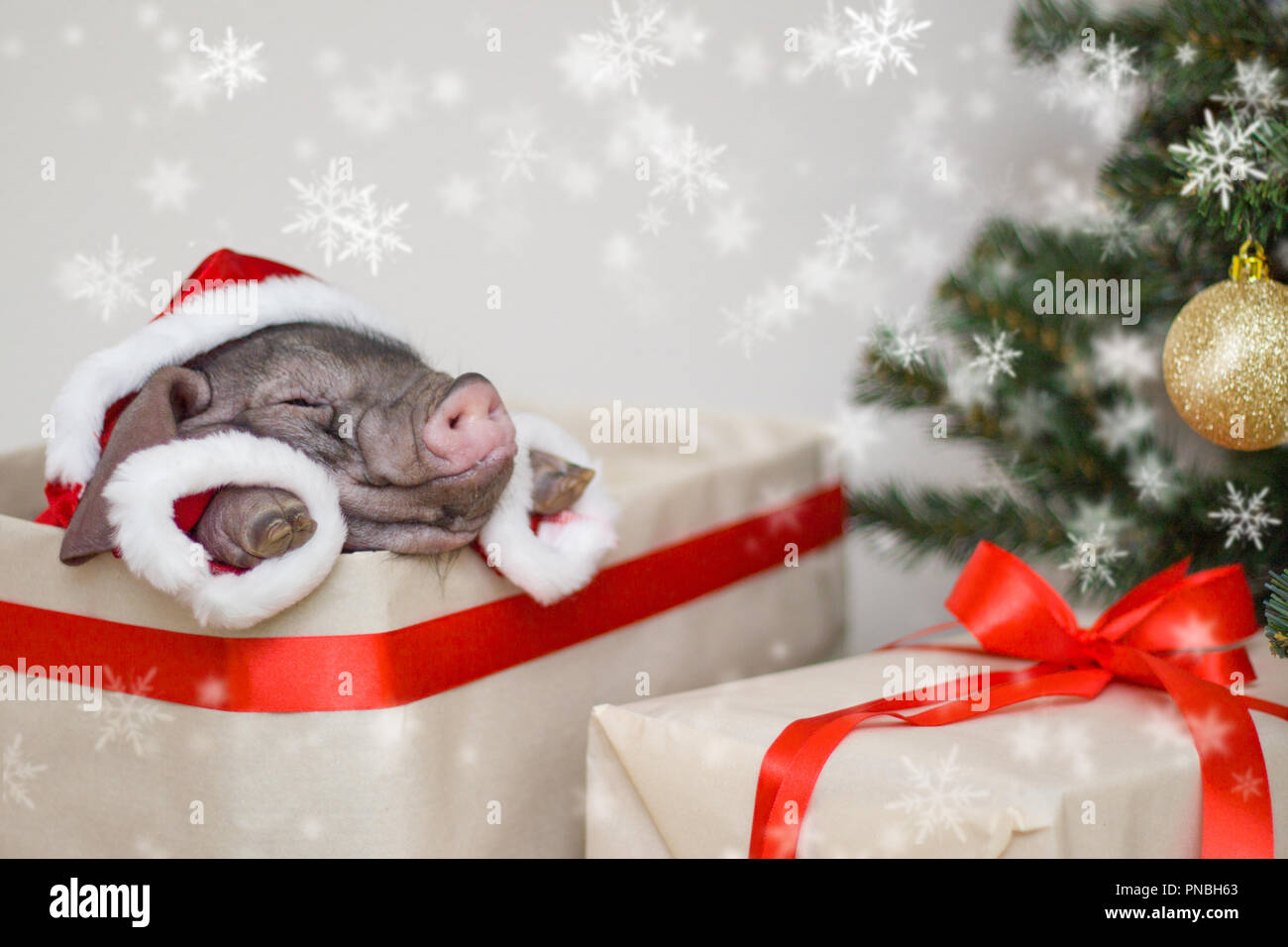 Christmas and new year card with cute newborn santa pig in gift ...