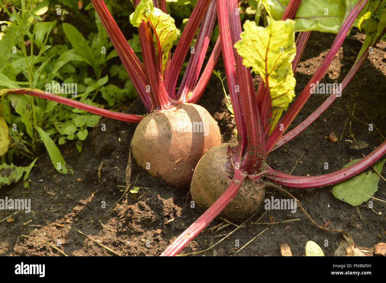 Beets grow in the soil on a vegetable garden on a Sunny day Stock Photo
