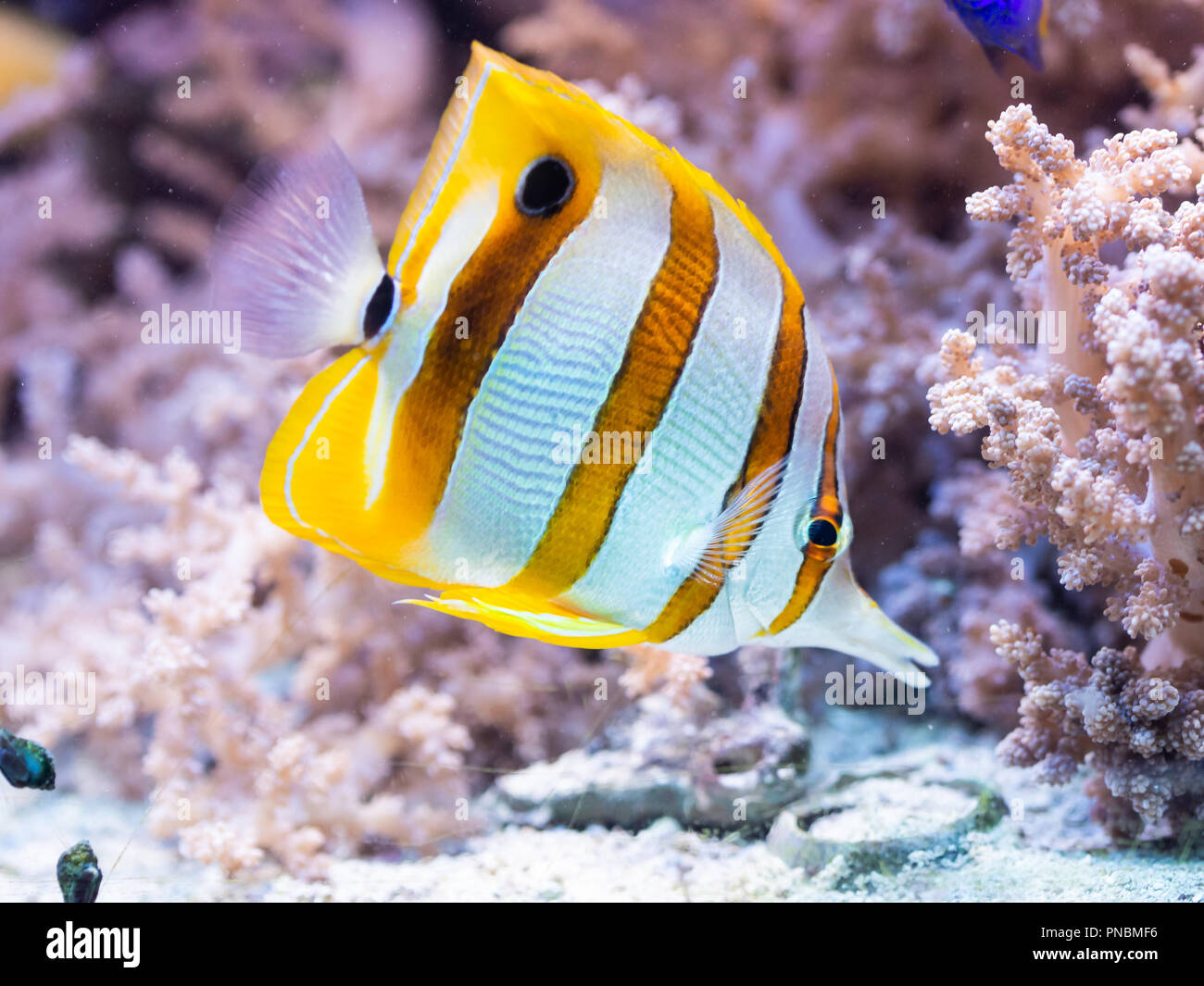 Fish Chelmon rostratus - Banded Longsnout Butterflyfish, saltwater - Stock Image
