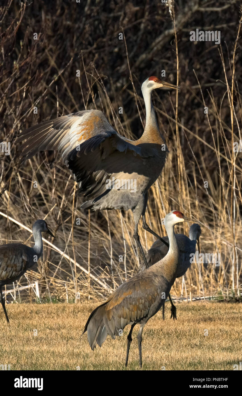 A Sandhill crane with wings outstretched comes in for a landing between two other birds walking through dry short grass. - Stock Image