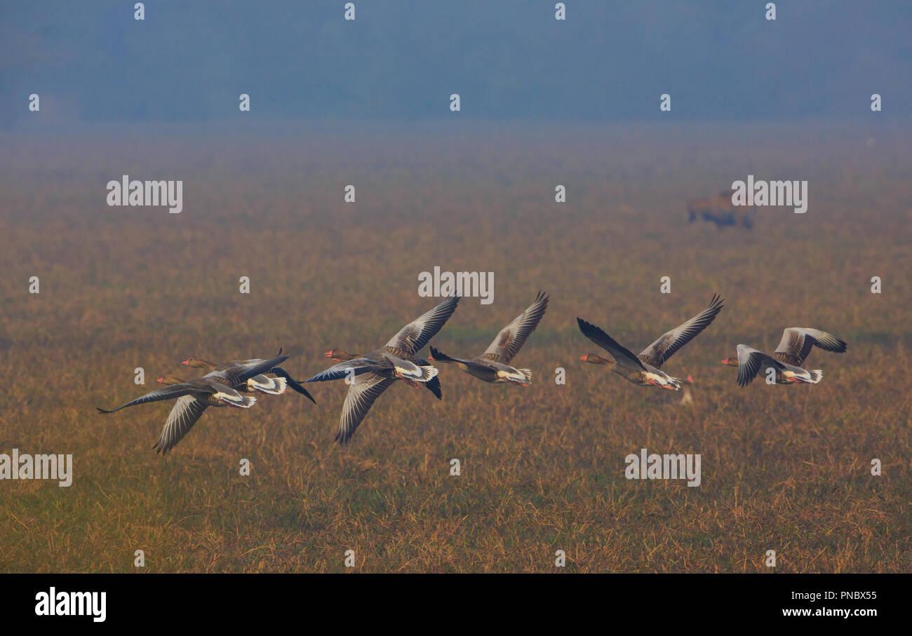 Greylag Goose - at Bharatpur Bird Sanctuary (Rajasthan - India) - Stock Image
