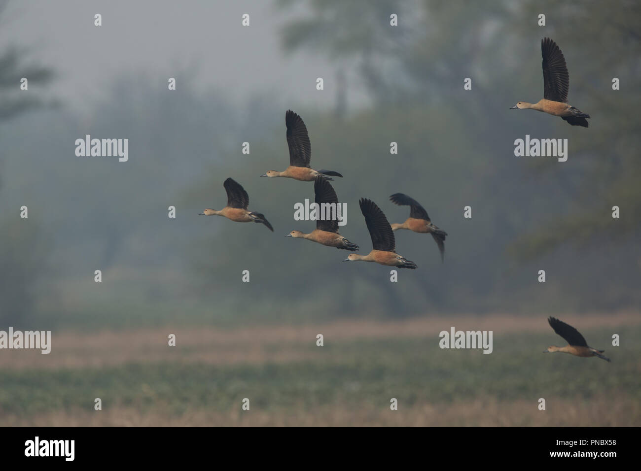 Whistling Ducks - at Bharatpur Bird Sanctuary (Rajasthan - India) - Stock Image