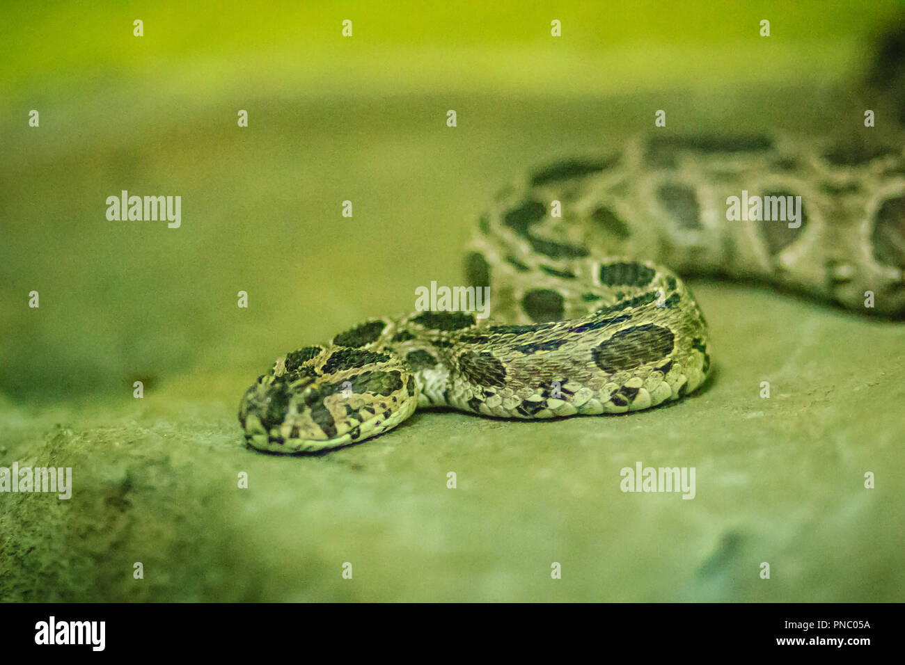 Siamese russell's viper (daboia russelii siamensis) in the snake farm. Daboia siamensis is a venomous viper species that is endemic to parts of Southe - Stock Image